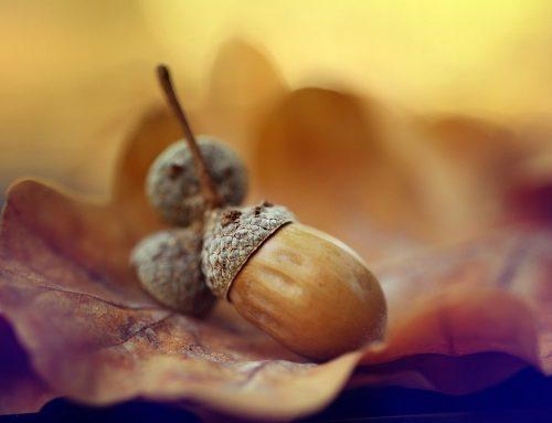 Oak and acorns (Quercus species)