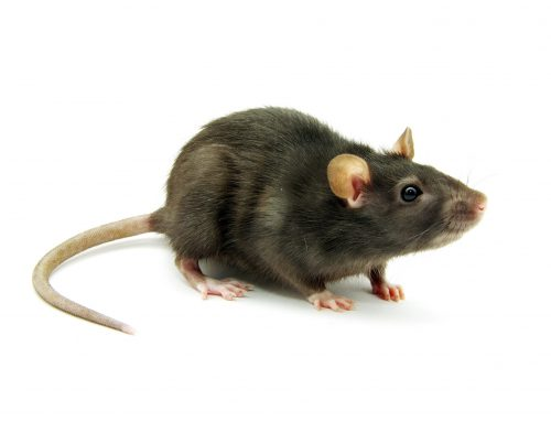 Anticoagulant rodenticides – some reminders