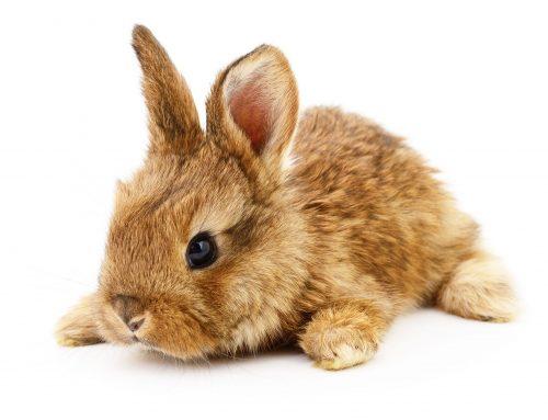 Rabbit Awareness Week- June 2021