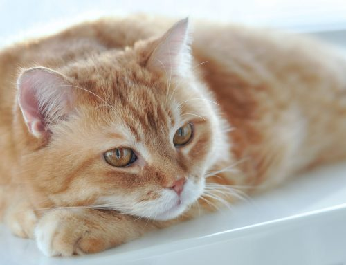 Pancytopenia in cats – UPDATE